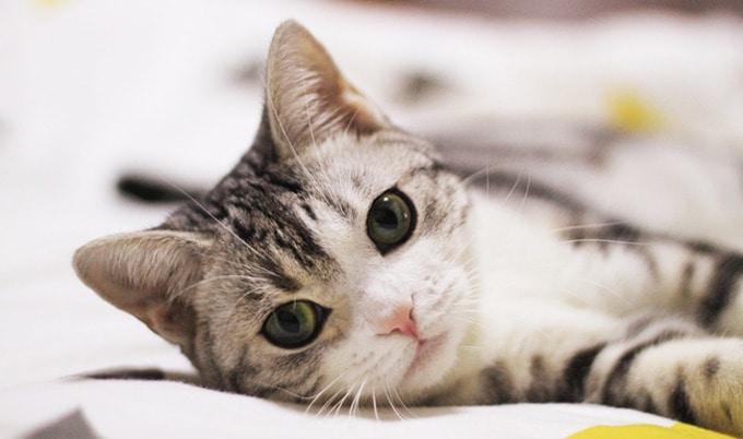 Pestovanie mäsa pre mačky