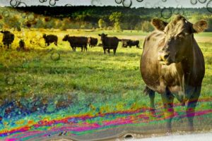 Grazed_and_confused_cows_2