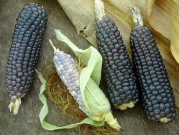modrá kukurica