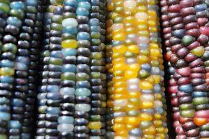 colored-corn